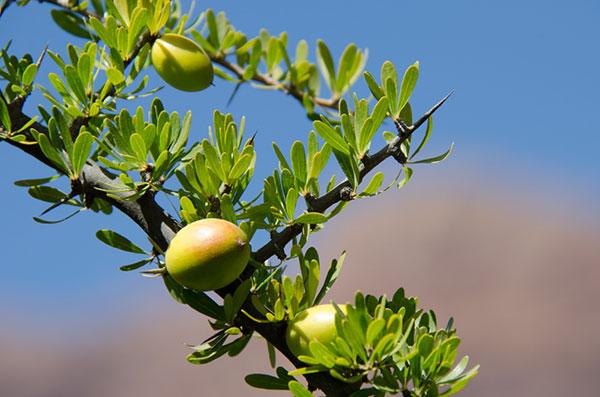 Owoce drzewa arganowego